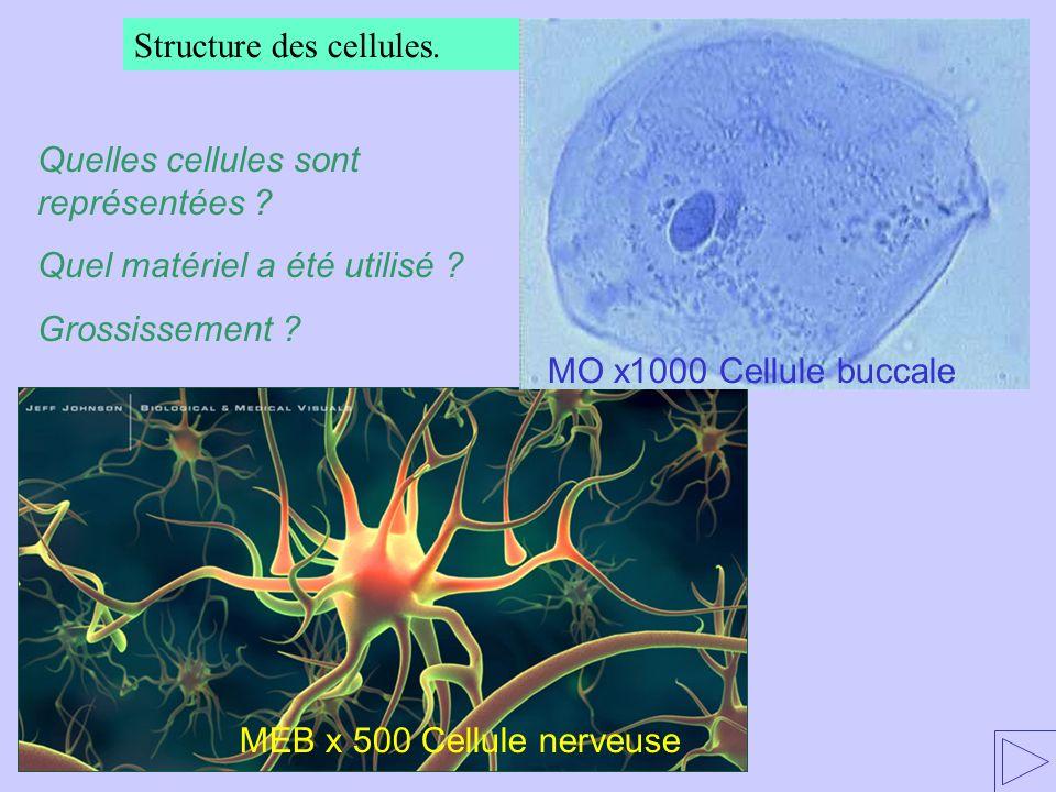 Structure des cellules. Quelles cellules sont représentées ? Quel matériel a été utilisé ? Grossissement ? MO x1000 Cellule buccale MEB x 500 Cellule
