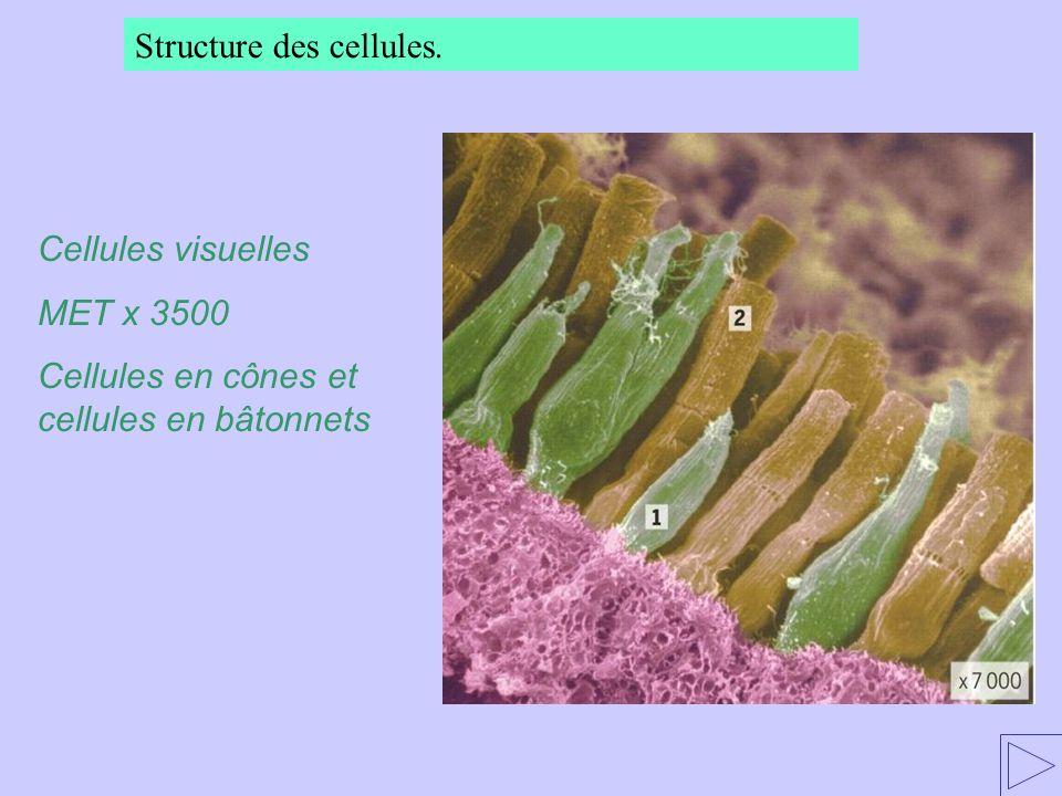 Structure des cellules. Cellules visuelles MET x 3500 Cellules en cônes et cellules en bâtonnets