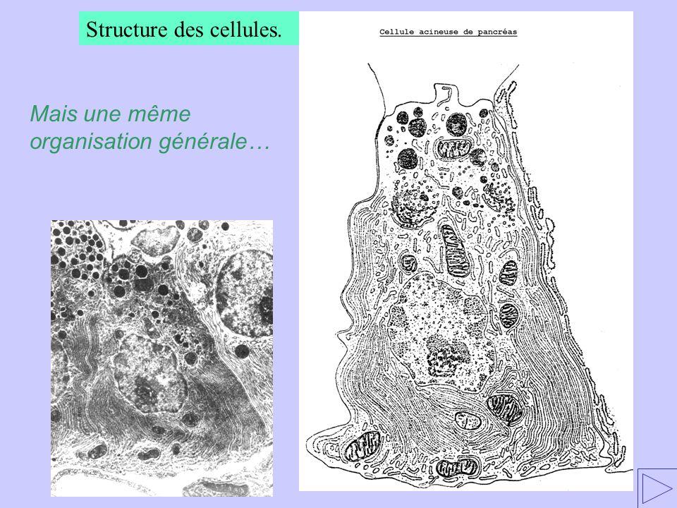 Structure des cellules. Mais une même organisation générale…