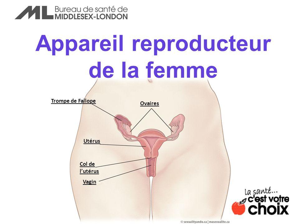 Appareil reproducteur de la femme Ovaires Trompe de Fallope Utérus Col de lutérus Vagin