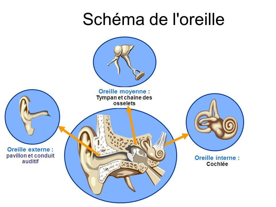 Oreille externe : pavillon et conduit auditif Oreille moyenne : Tympan et chaîne des osselets Oreille interne : Cochlée Schéma de l oreille