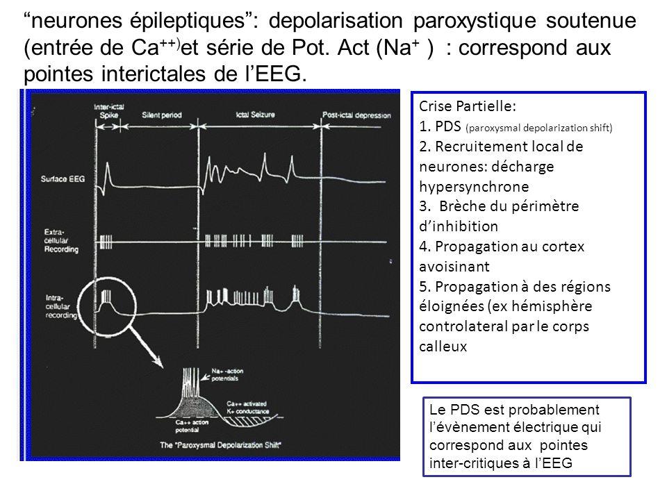 neurones épileptiques: depolarisation paroxystique soutenue (entrée de Ca ++) et série de Pot. Act (Na + ) : correspond aux pointes interictales de lE