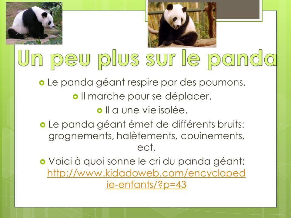 Le panda géant respire par des poumons. Il marche pour se déplacer. Il a une vie isolée. Le panda géant émet de différents bruits: grognements, halète