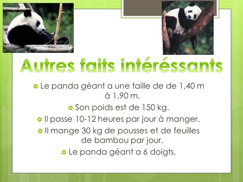 Le panda géant a une taille de de 1,40 m à 1,90 m. Son poids est de 150 kg. Il passe 10-12 heures par jour à manger. Il mange 30 kg de pousses et de f
