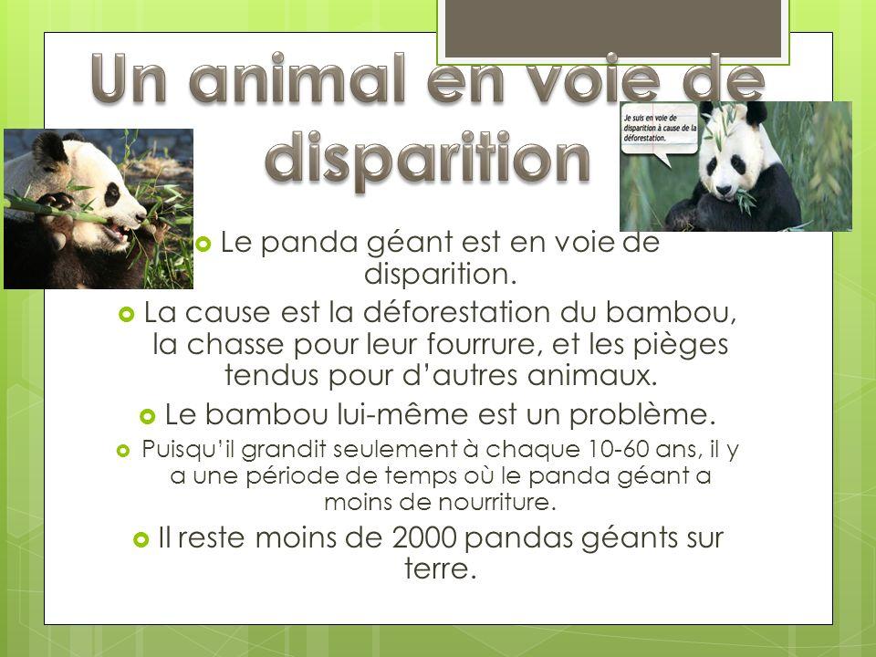 Le panda géant est en voie de disparition. La cause est la déforestation du bambou, la chasse pour leur fourrure, et les pièges tendus pour dautres an