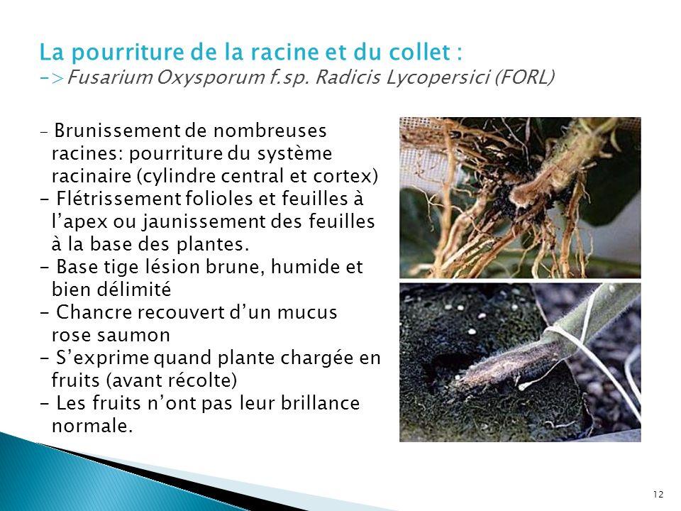 La pourriture de la racine et du collet : ->Fusarium Oxysporum f.sp. Radicis Lycopersici (FORL) - Brunissement de nombreuses racines: pourriture du sy