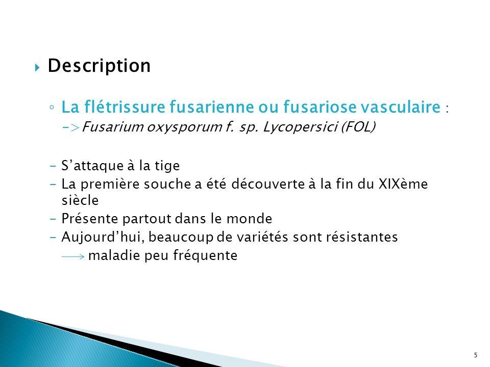 Description La flétrissure fusarienne ou fusariose vasculaire : ->Fusarium oxysporum f. sp. Lycopersici (FOL) -Sattaque à la tige -La première souche
