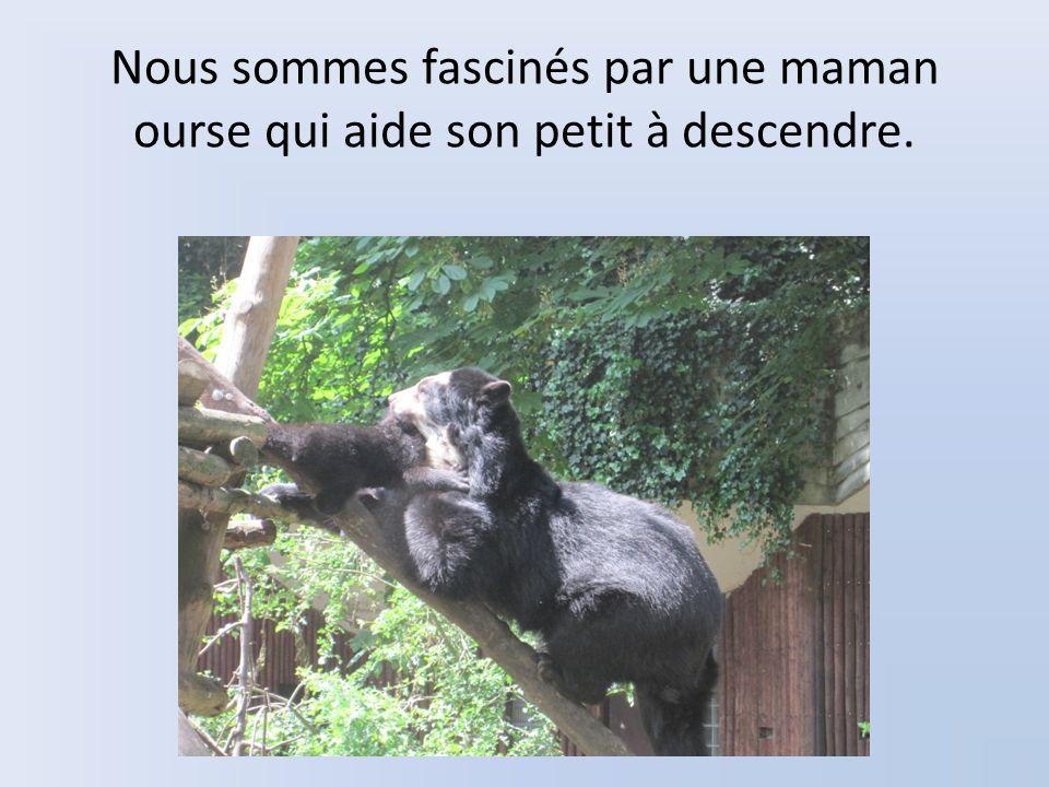Nous sommes fascinés par une maman ourse qui aide son petit à descendre.