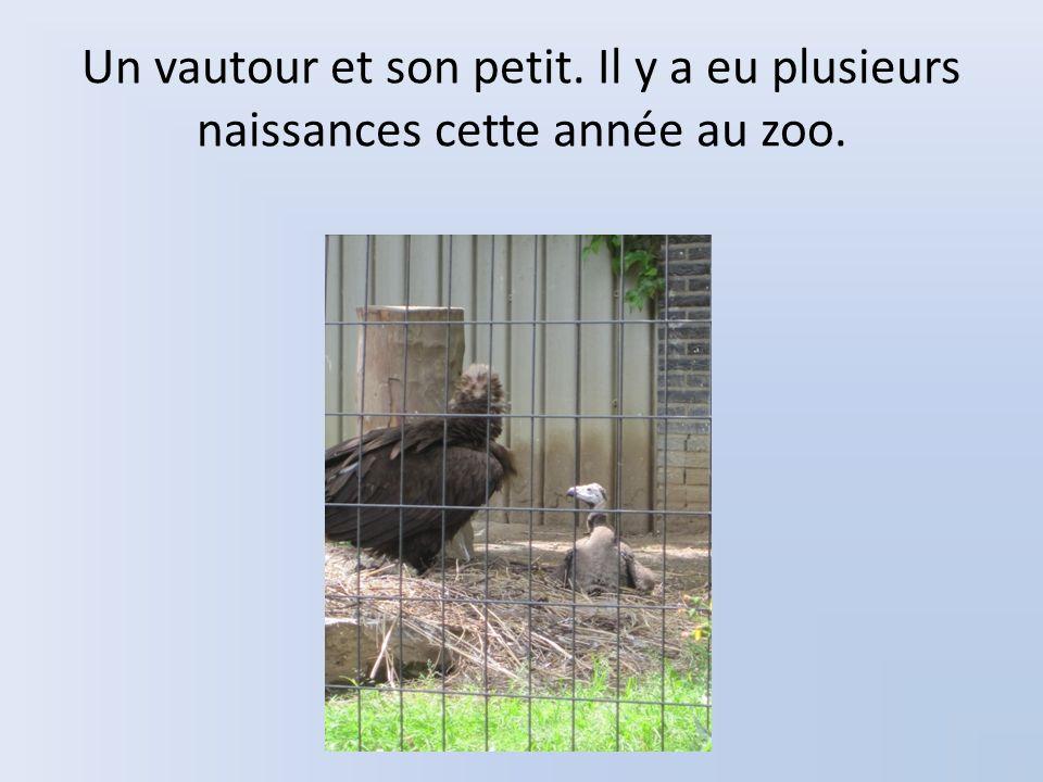 Un vautour et son petit. Il y a eu plusieurs naissances cette année au zoo.