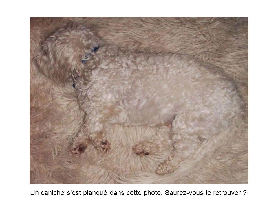 Un caniche sest planqué dans cette photo. Saurez-vous le retrouver ?
