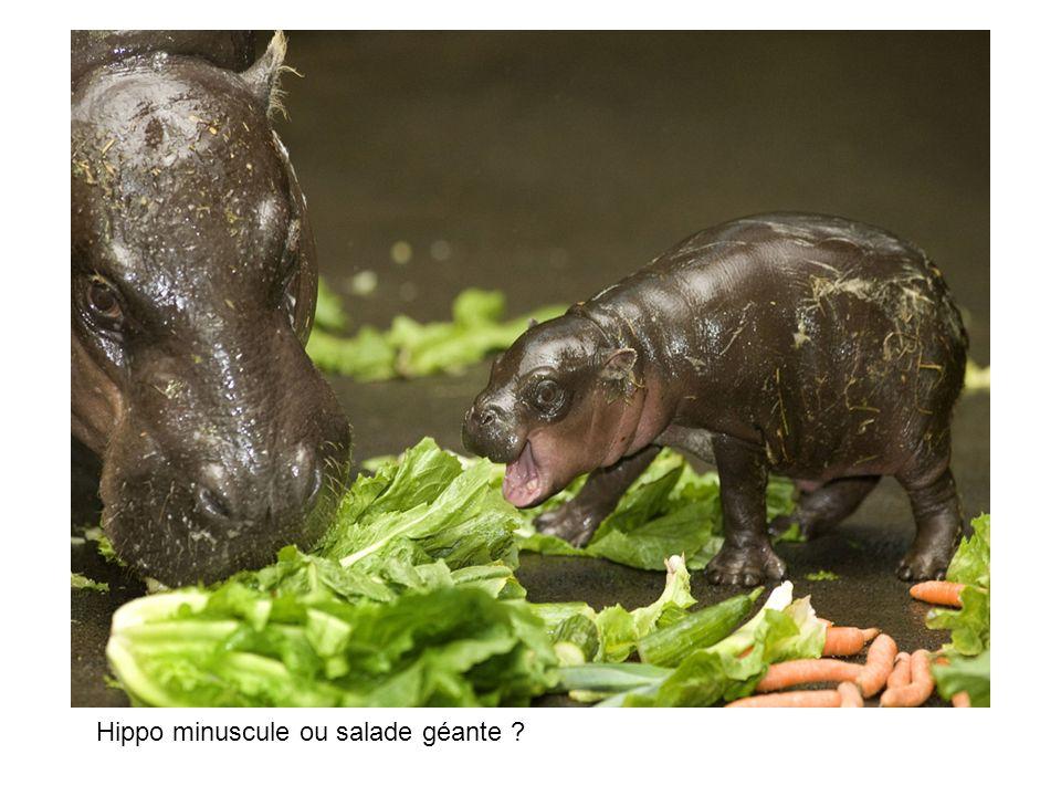Hippo minuscule ou salade géante ?