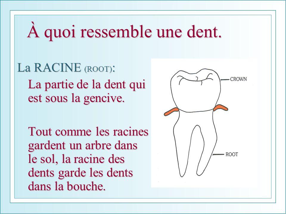 À quoi ressemble une dent. La RACINE (ROOT) : La partie de la dent qui est sous la gencive. Tout comme les racines gardent un arbre dans le sol, la ra
