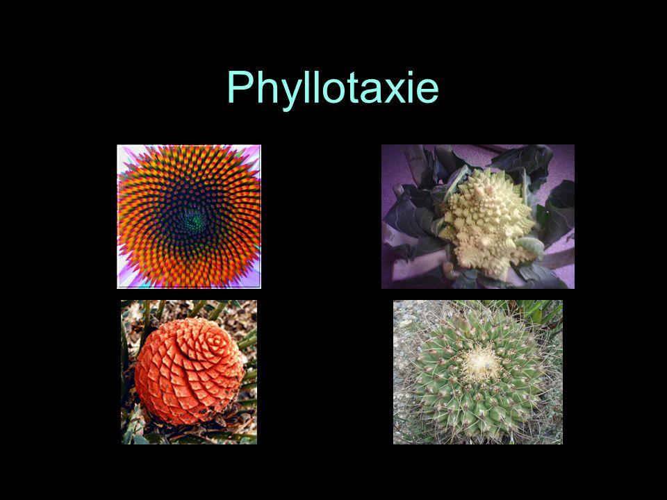 Phyllotaxie