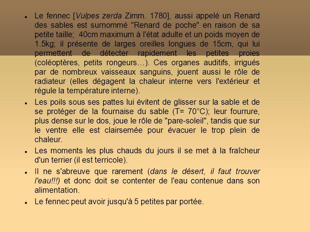 Le fennec [Vulpes zerda Zimm. 1780], aussi appelé un Renard des sables est surnommé