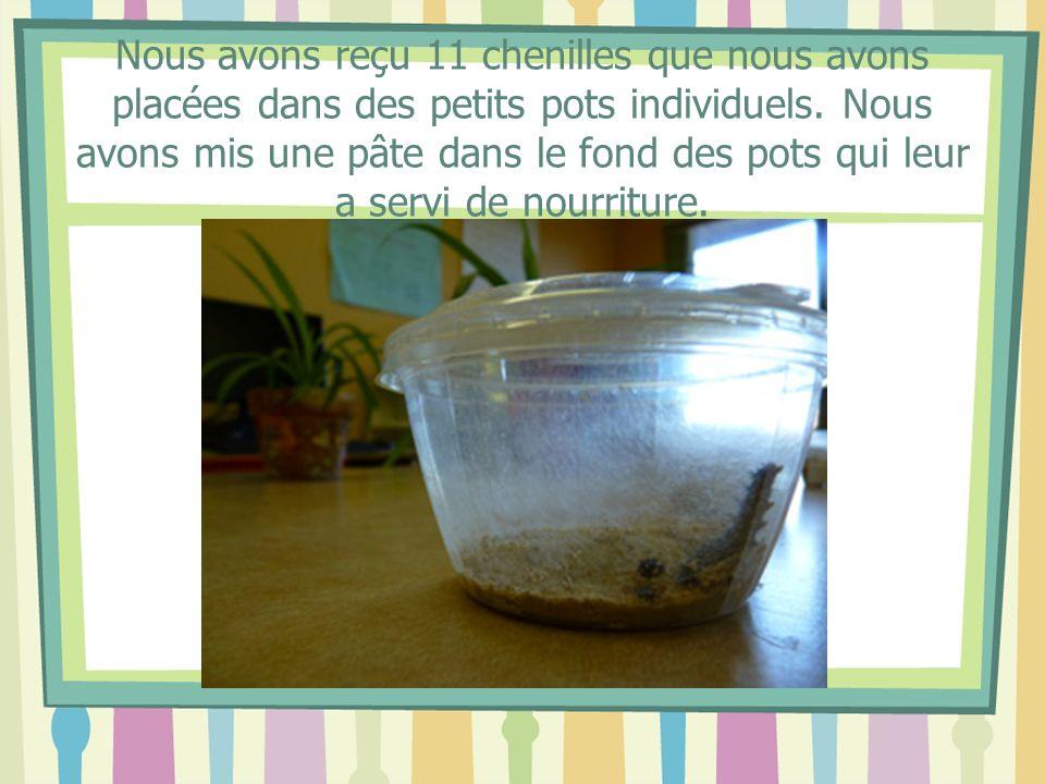 Nous avons reçu 11 chenilles que nous avons placées dans des petits pots individuels.