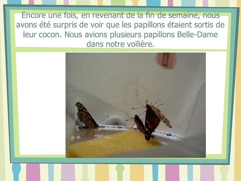 Encore une fois, en revenant de la fin de semaine, nous avons été surpris de voir que les papillons étaient sortis de leur cocon.