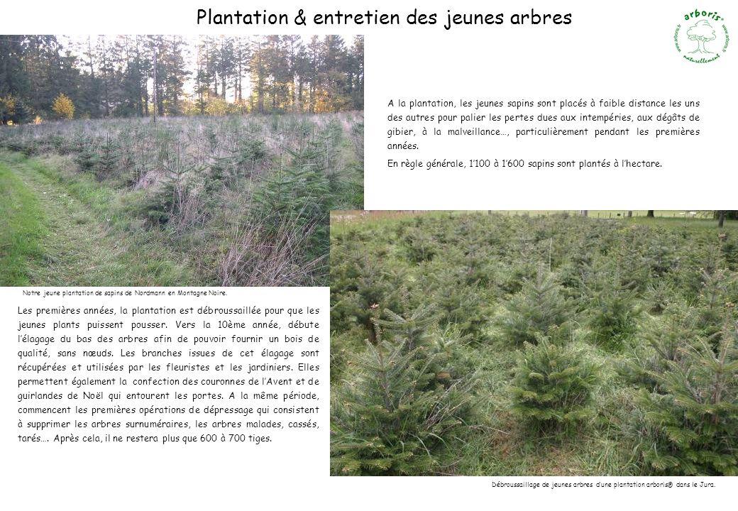 Notre jeune plantation de sapins de Nordmann en Montagne Noire. Débroussaillage de jeunes arbres dune plantation arboris® dans le Jura. Plantation & e