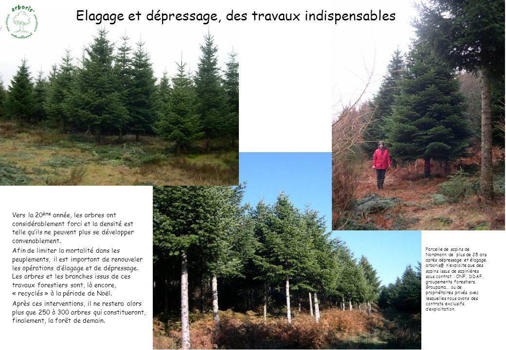 Vers la 20 ème année, les arbres ont considérablement forci et la densité est telle quils ne peuvent plus se développer convenablement. Afin de limite