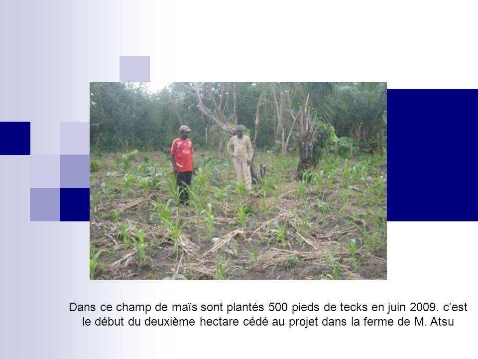 Dans ce champ de maïs sont plantés 500 pieds de tecks en juin 2009. cest le début du deuxième hectare cédé au projet dans la ferme de M. Atsu