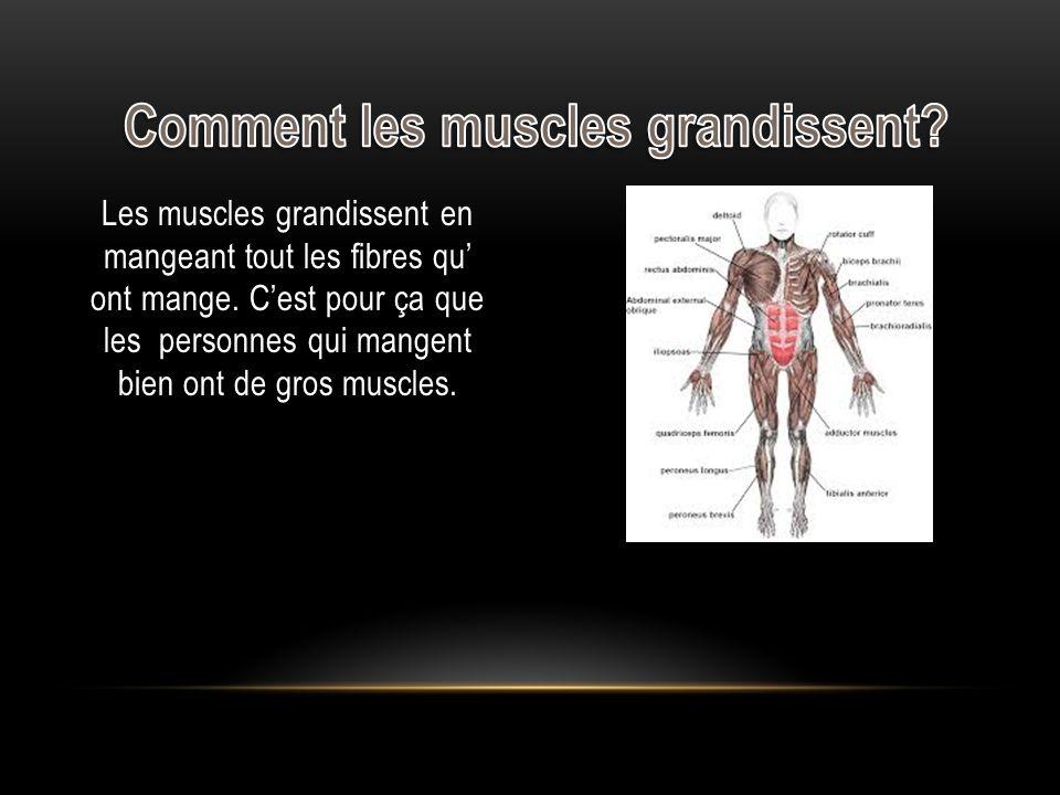 Les muscles grandissent en mangeant tout les fibres qu ont mange.