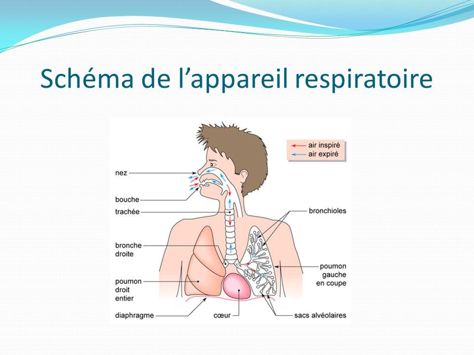 Schéma de lappareil respiratoire