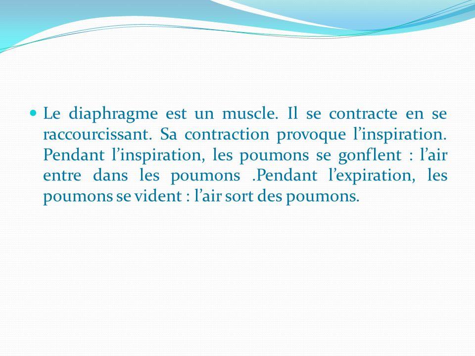 Le diaphragme est un muscle. Il se contracte en se raccourcissant. Sa contraction provoque linspiration. Pendant linspiration, les poumons se gonflent
