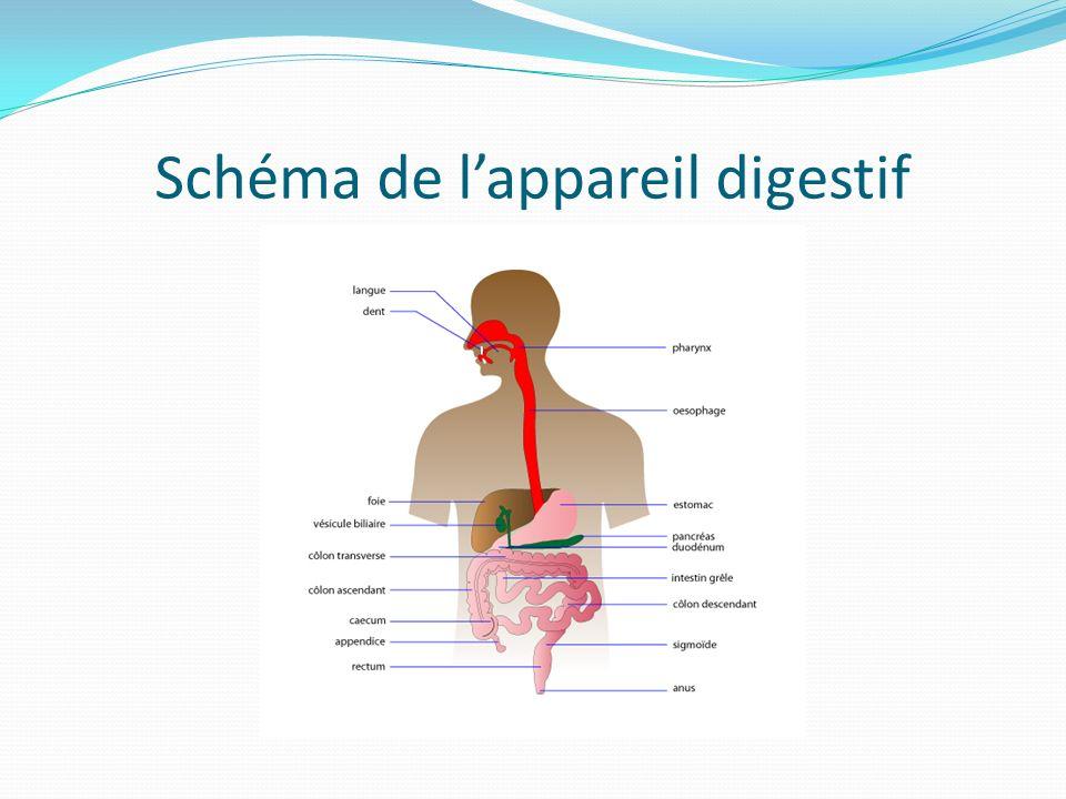 Schéma de lappareil digestif