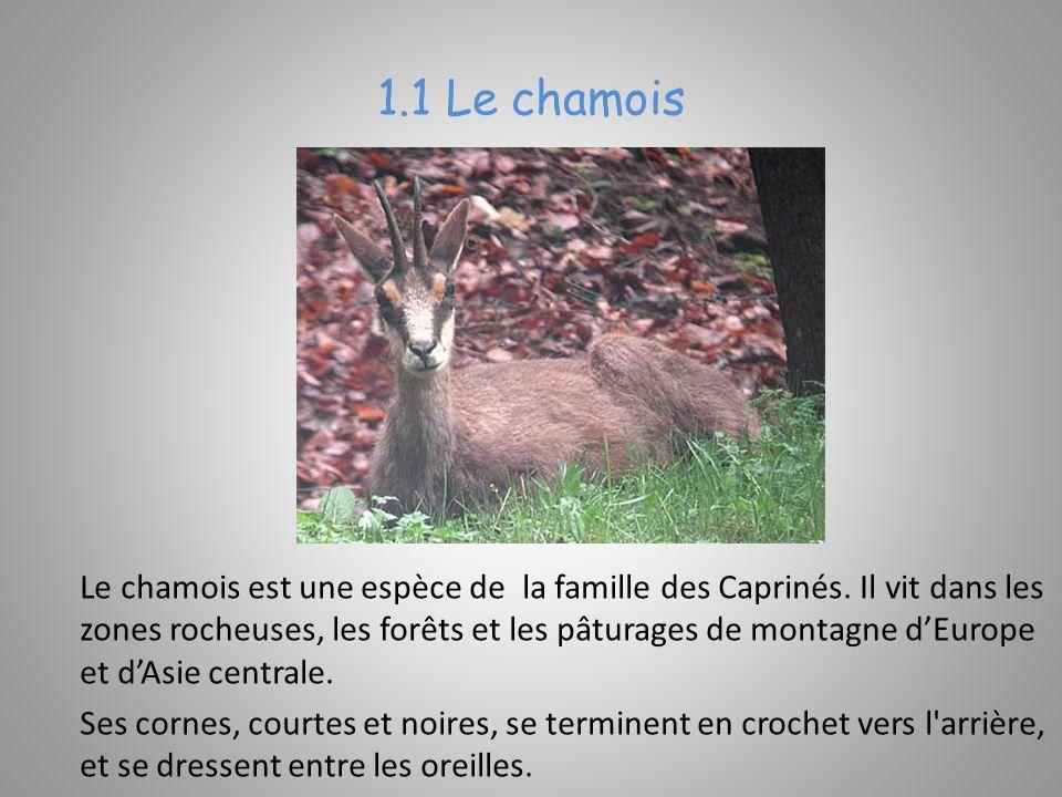 Le chamois est une espèce de la famille des Caprinés.