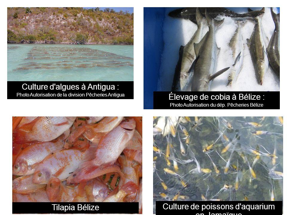 Culture d algues à Antigua : Photo Autorisation de la division Pêcheries Antigua Élevage de cobia à Bélize : Photo Autorisation du dép.