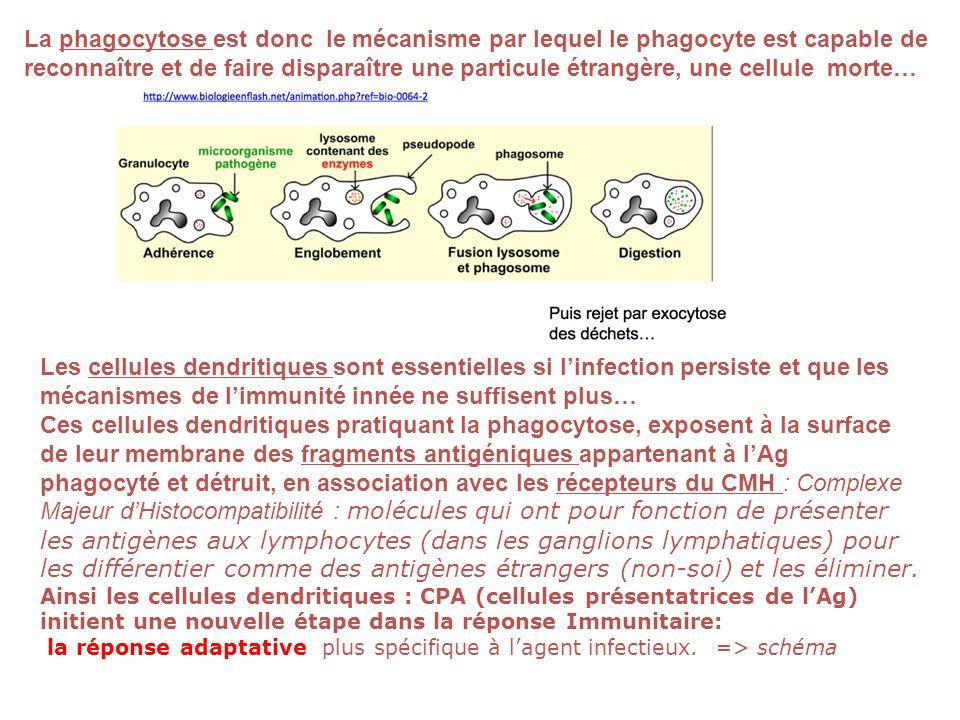 La phagocytose est donc le mécanisme par lequel le phagocyte est capable de reconnaître et de faire disparaître une particule étrangère, une cellule m