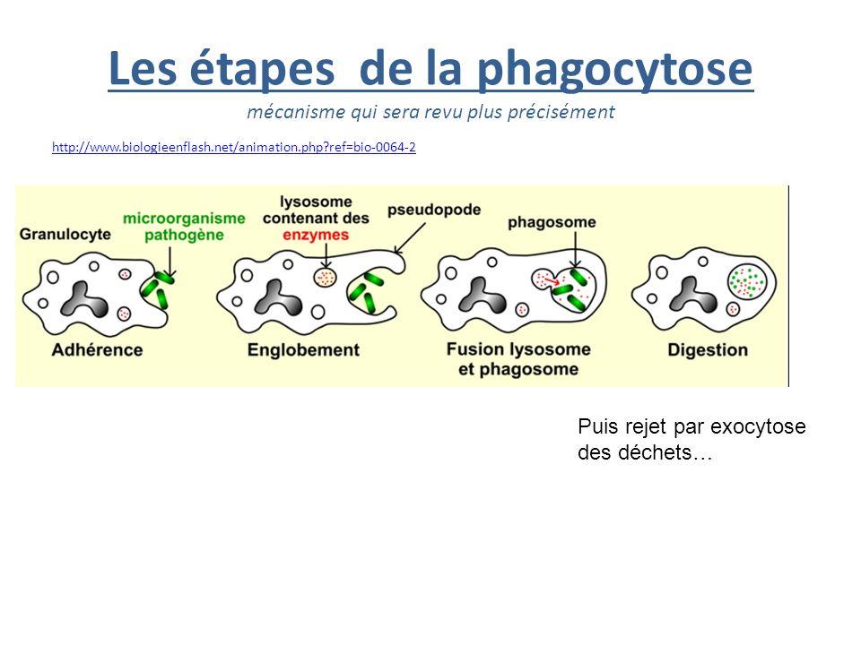 Les étapes de la phagocytose mécanisme qui sera revu plus précisément http://www.biologieenflash.net/animation.php?ref=bio-0064-2 Puis rejet par exocy