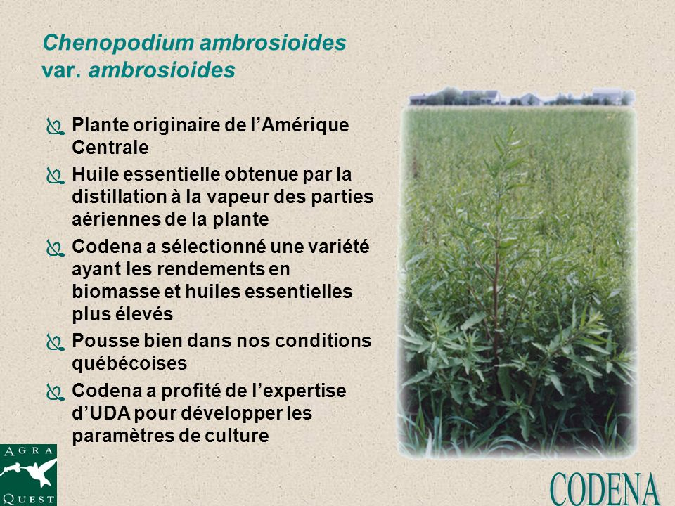 Chenopodium ambrosioides var. ambrosioides Plante originaire de lAmérique Centrale Huile essentielle obtenue par la distillation à la vapeur des parti