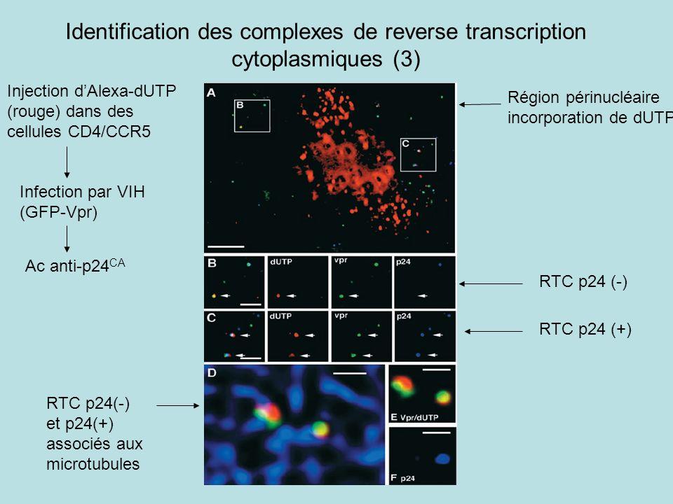 Identification des complexes de reverse transcription cytoplasmiques (3) Injection dAlexa-dUTP (rouge) dans des cellules CD4/CCR5 Infection par VIH (GFP-Vpr) Ac anti-p24 CA Région périnucléaire incorporation de dUTP RTC p24 (-) RTC p24 (+) RTC p24(-) et p24(+) associés aux microtubules