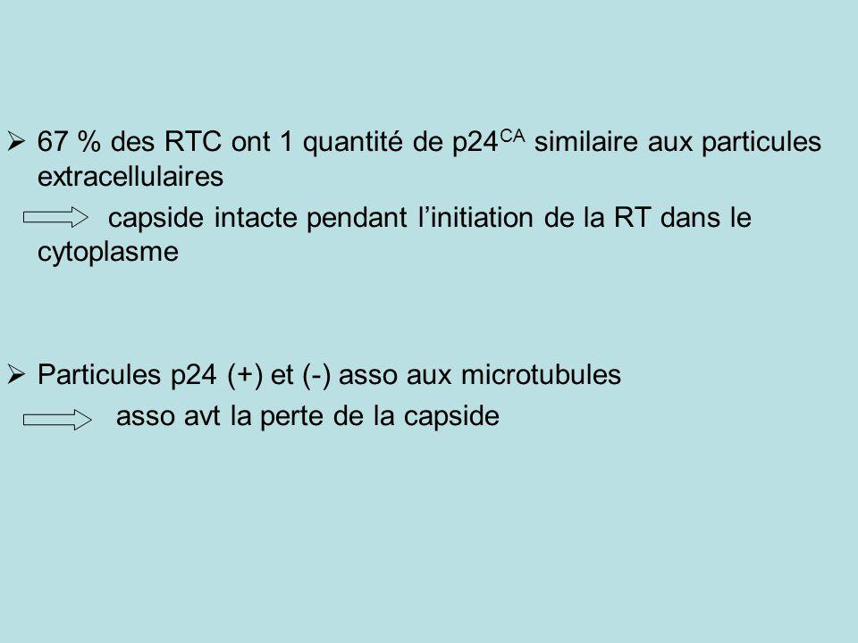 67 % des RTC ont 1 quantité de p24 CA similaire aux particules extracellulaires capside intacte pendant linitiation de la RT dans le cytoplasme Particules p24 (+) et (-) asso aux microtubules asso avt la perte de la capside