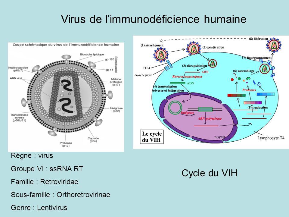 Cycle du VIH Règne : virus Groupe VI : ssRNA RT Famille : Retroviridae Sous-famille : Orthoretrovirinae Genre : Lentivirus Virus de limmunodéficience humaine
