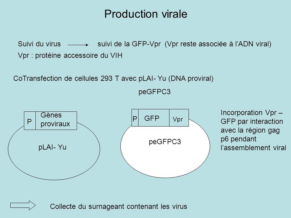 Production virale CoTransfection de cellules 293 T avec pLAI- Yu (DNA proviral) peGFPC3 Collecte du surnageant contenant les virus Suivi du virus suivi de la GFP-Vpr (Vpr reste associée à lADN viral) Vpr : protéine accessoire du VIH Incorporation Vpr – GFP par interaction avec la région gag p6 pendant lassemblement viral peGFPC3 GFP Vpr P P Gènes proviraux pLAI- Yu