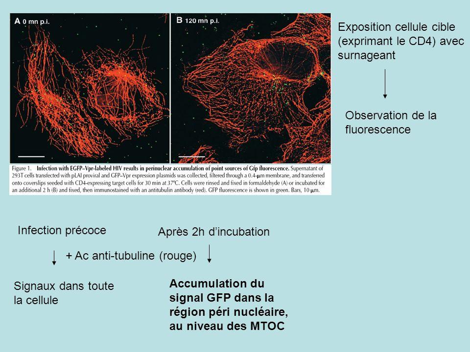 Exposition cellule cible (exprimant le CD4) avec surnageant Observation de la fluorescence Infection précoce Signaux dans toute la cellule Après 2h dincubation Accumulation du signal GFP dans la région péri nucléaire, au niveau des MTOC + Ac anti-tubuline (rouge)