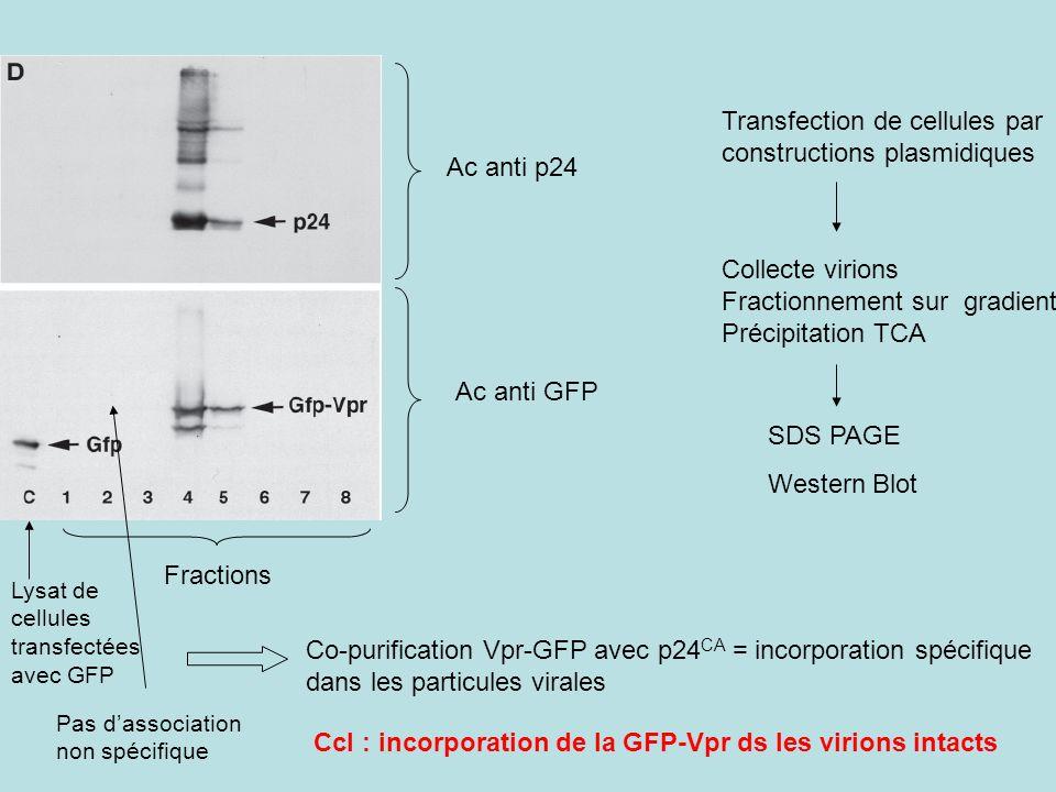 Transfection de cellules par constructions plasmidiques Collecte virions Fractionnement sur gradient Précipitation TCA SDS PAGE Western Blot Ac anti p24 Ac anti GFP Fractions Lysat de cellules transfectées avec GFP Co-purification Vpr-GFP avec p24 CA = incorporation spécifique dans les particules virales Ccl : incorporation de la GFP-Vpr ds les virions intacts Pas dassociation non spécifique