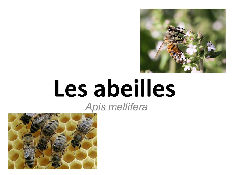 Les abeilles Apis mellifera