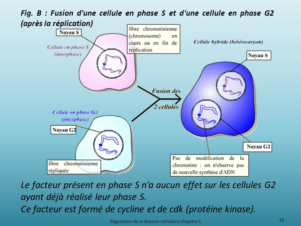 Fig. B : Fusion d'une cellule en phase S et d'une cellule en phase G2 (après la réplication) Le facteur présent en phase S na aucun effet sur les cell