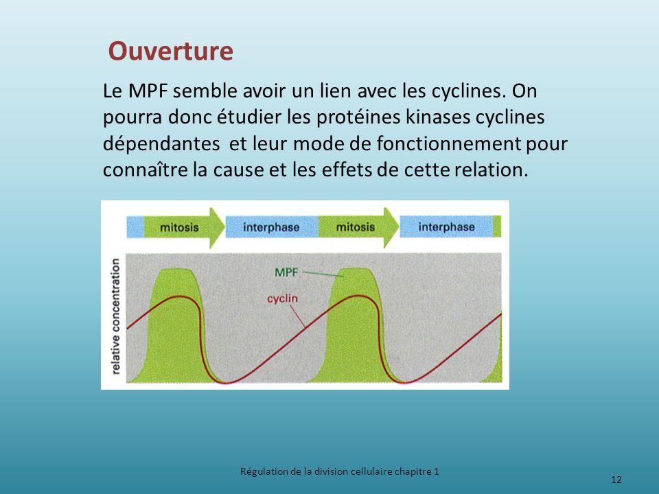 Ouverture Le MPF semble avoir un lien avec les cyclines. On pourra donc étudier les protéines kinases cyclines dépendantes et leur mode de fonctionnem