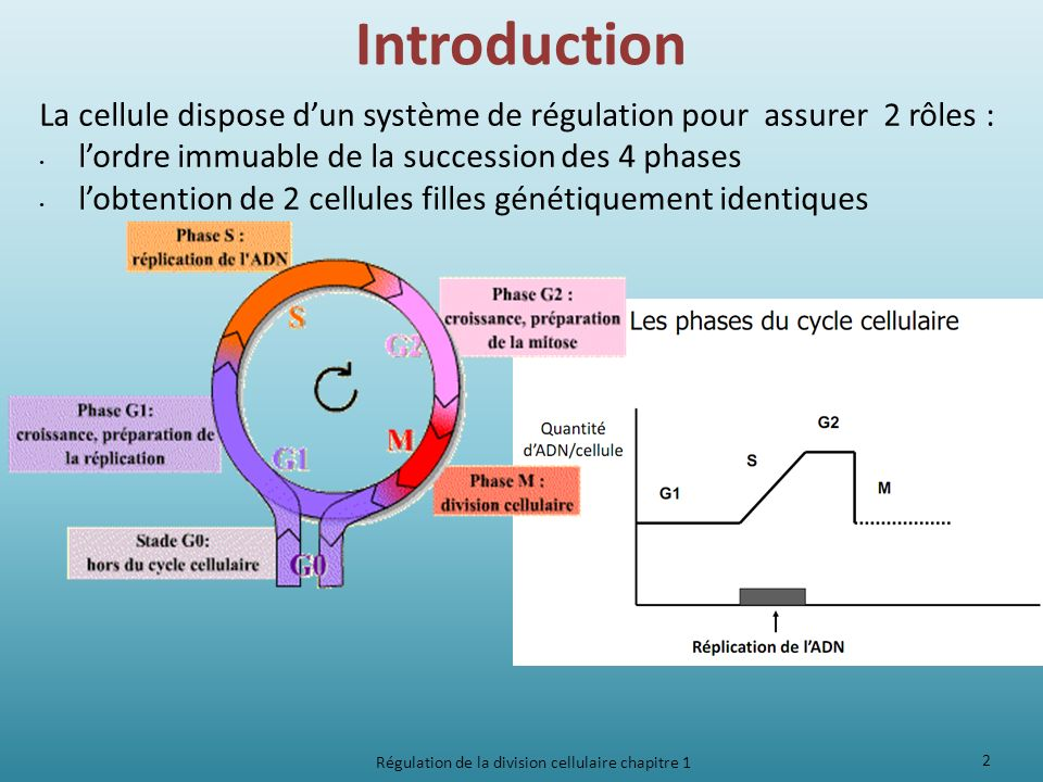 Introduction La cellule dispose dun système de régulation pour assurer 2 rôles : lordre immuable de la succession des 4 phases lobtention de 2 cellule