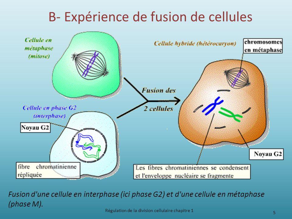 B- Expérience de fusion de cellules Régulation de la division cellulaire chapitre 1 5 Fusion d'une cellule en interphase (ici phase G2) et d'une cellu