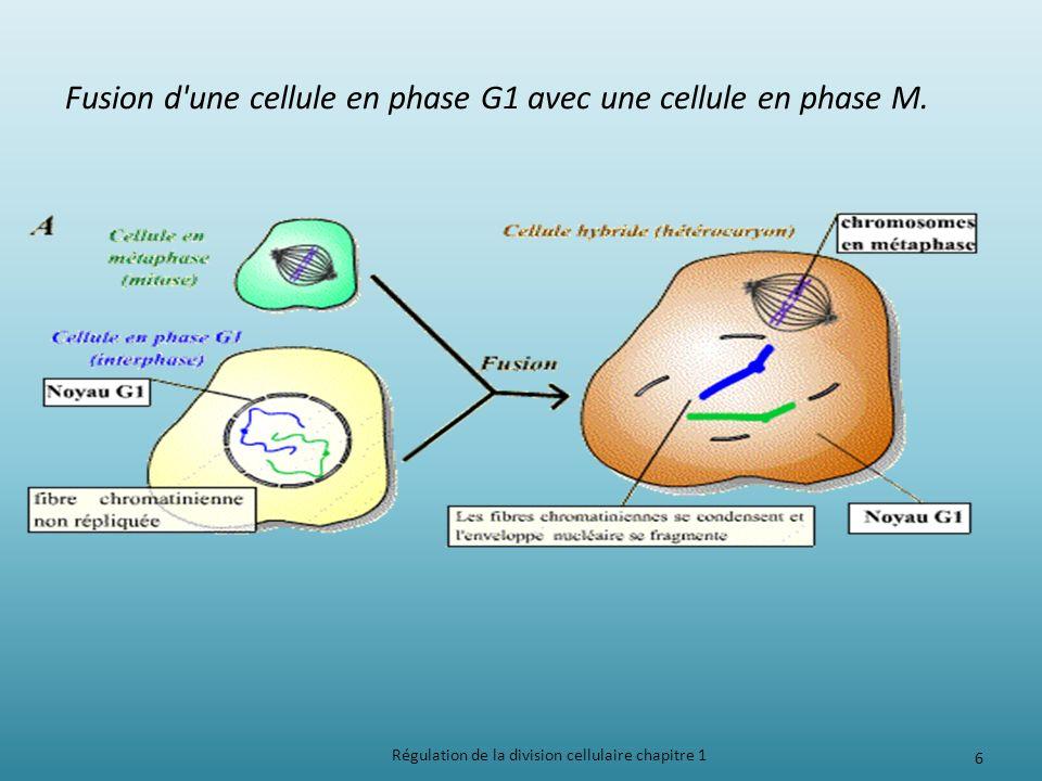Régulation de la division cellulaire chapitre 1 6 Fusion d'une cellule en phase G1 avec une cellule en phase M.