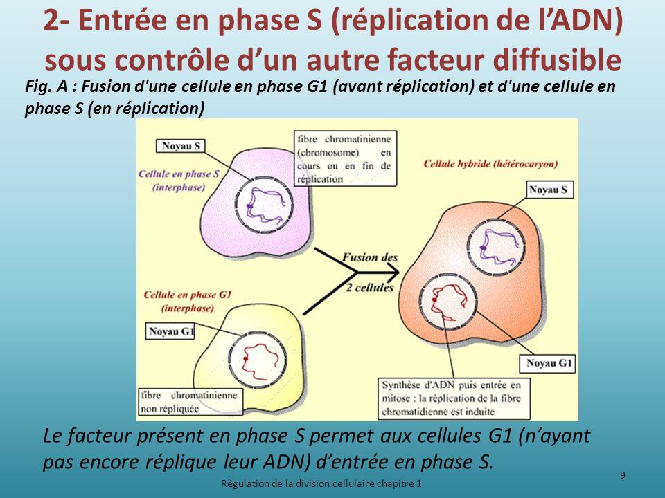 2- Entrée en phase S (réplication de lADN) sous contrôle dun autre facteur diffusible Fig. A : Fusion d'une cellule en phase G1 (avant réplication) et