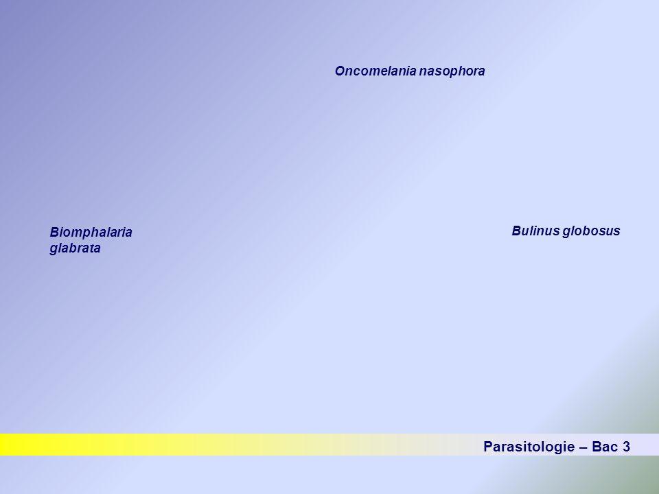 Parasitologie – Bac 3 Oncomelania nasophora Biomphalaria glabrata Bulinus globosus