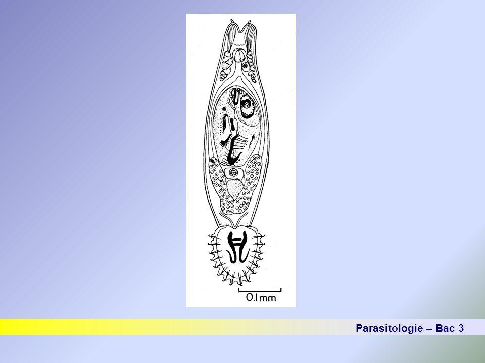LES TREMATODES Les trématodes Digenea ou « douves » Forme adulte :- canaux biliaires.