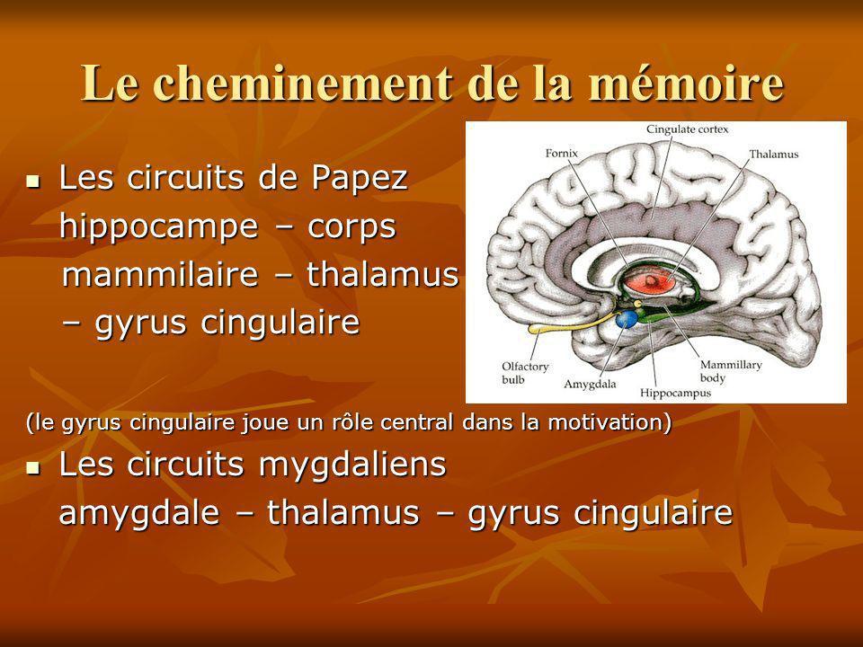 Le cheminement de la mémoire Les circuits de Papez Les circuits de Papez hippocampe – corps mammilaire – thalamus mammilaire – thalamus – gyrus cingul