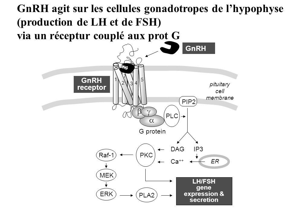 6 1 2 3 5 4 7 G protein GnRH GnRH receptor pituitary cell membrane PLC PKC DAG Ca ++ ER IP3 MEK ERK Raf-1 PLA2 LH/FSH gene expression & secretion PIP2 GnRH agit sur les cellules gonadotropes de lhypophyse (production de LH et de FSH) via un réceptur couplé aux prot G