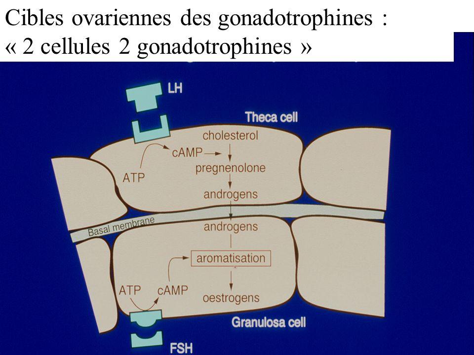 Cibles ovariennes des gonadotrophines : « 2 cellules 2 gonadotrophines »